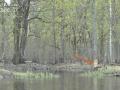 Бобры на реке Пра